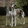 WHIPPETS08