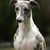 WHIPPETS20