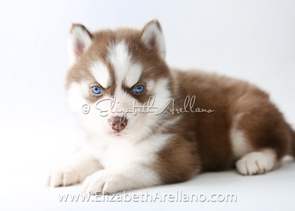 Huskies-DrkRedbitch08