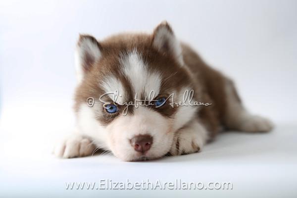 Huskies-DrkRedbitch10