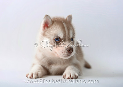 Huskies-LightRedbitch02