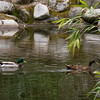 Mallards, Lithia Park, Ashland, OR