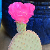 CAC-022 Opuntia Basilaris - Beavertail Cactus