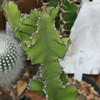 EUP-022 Euphorbia kibwezensis