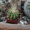 CAC-115 Echinocactus Grusonii - Golden Barrel Cactus - Tick Slayer
