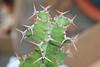EUP-023 Euphorbia pseudocactus