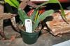 CAC-190 Epiphyllum Orchid cactus