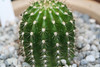 CAC-186 Trichocereus Orange California