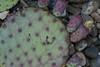 CAC-161 Opuntia Santa Rita from Sonoran Desert