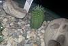 EUP-021 Euphorbia stellispina