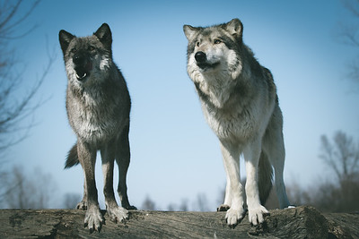 Dharma and Wotan posing during a photo shoot at Wolf Park in Battleground, Indiana