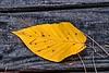 Beech Tree Leaf
