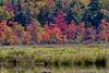 Swamp Maples