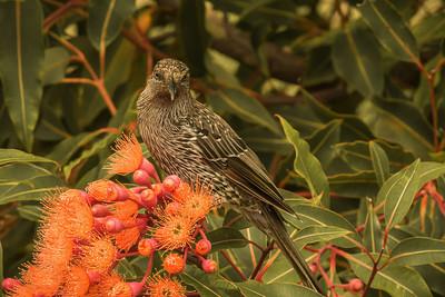 Wattle Bird - honey eater (Anthochaera)