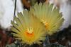 CAC-053 Astrophytum Ornatum flowers
