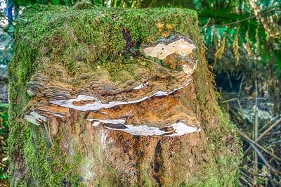 Tree Fungus on Stump