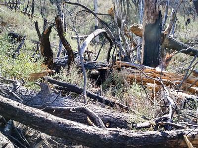20150307019-Silver Mocassin Chainsaw Trailwork