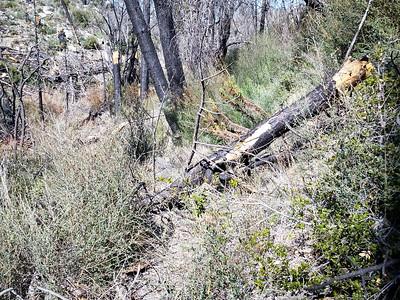 20150307017-Silver Mocassin Chainsaw Trailwork