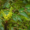 Oregon Grape, Hike to Watson Falls