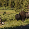 Bison along Virginia Cascade Road, Yellowstone NP, WY