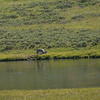 Wolf, Hayden Valley, Yellowstone NP, WY