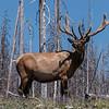 Bull Elk near Lake, Yellowstone NP, WY