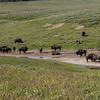 Bison, Hayden Valley, Yellowstone NP, WY