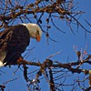 A Bald Eagle Watching Me