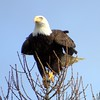 Bald Eagle Balancing Atop a Tree
