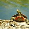 Turtle Springtime Sunning