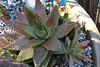 ALO-004 Aloe Brevifolia - Short leaved Aloe