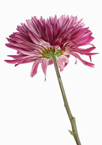 Chrysanthemum, natural