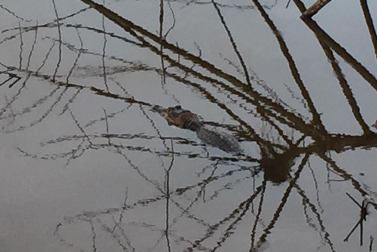 cayman under tree limbs