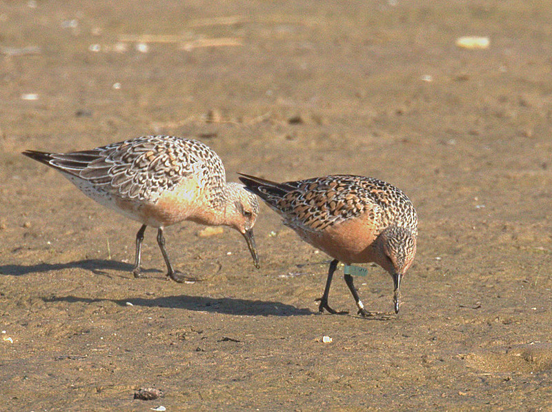 Red Knots - Montrose