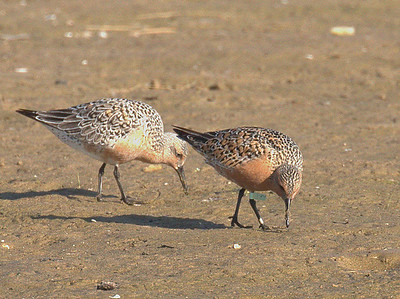 2015 Red Knots - Montrose