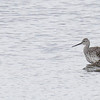 Lesser and Greater Yellowlegs with Stilt Sandpiper
