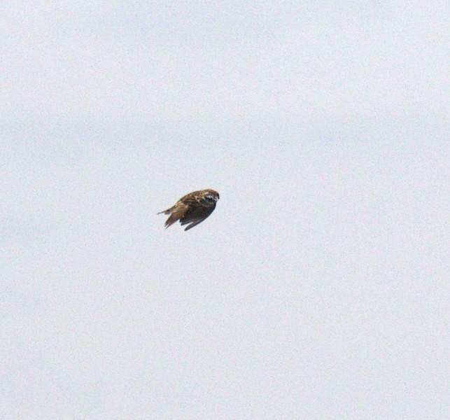 Male Smith's Longspur in  flight