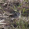 Savannah Sparrow, skulking around like a  Longspur.