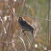Another Savannah Sparrow not skulking.