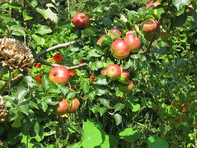 Nice apples at Trerice