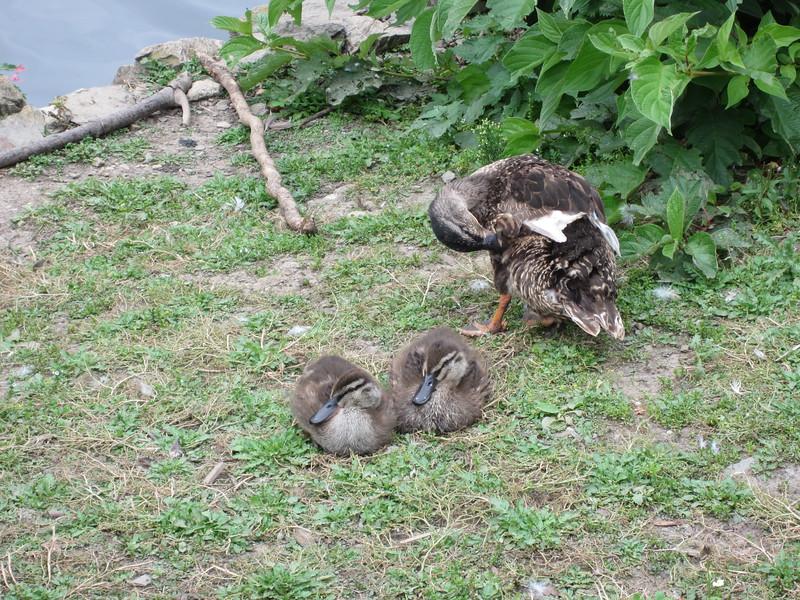 Ducklings at Saltram