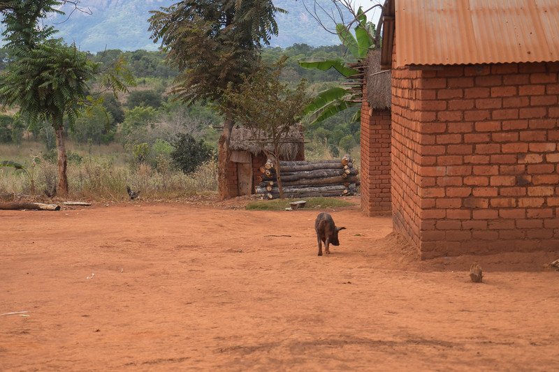 Wandering hog