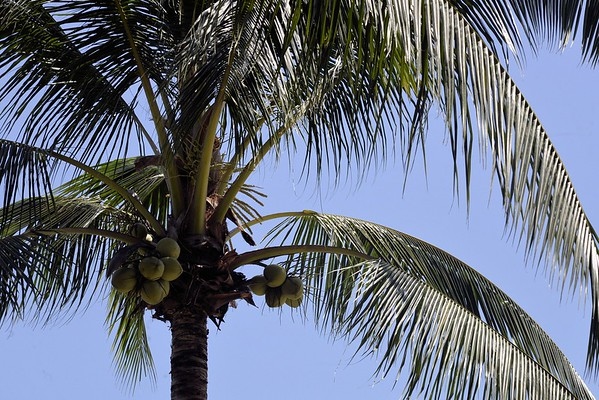 _DG17311-12R Coconut Palm