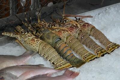 _DG16482-12R Lobster
