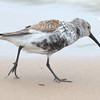 A Dunlin at Montrose Beach Saturday morning.