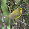 Finally the Hooded Warbler .