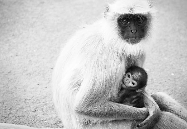 Monkeys. Arangabad, India