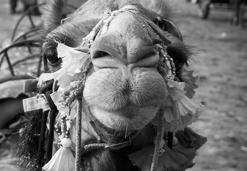 Camel. Pushkar, India