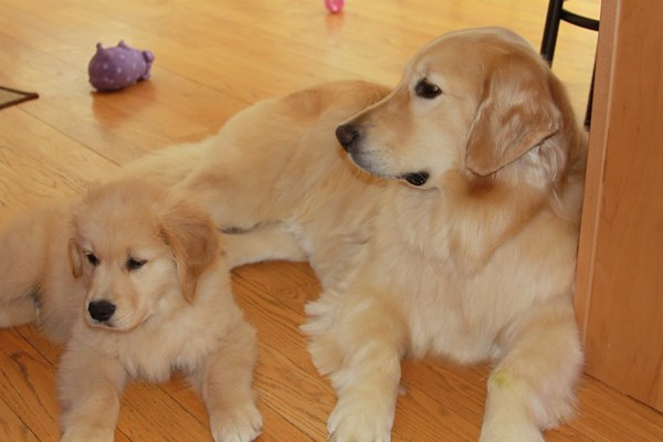 Zac and his new sister Zoey - both are Friday Goldens