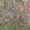 Le Contes' Sparrow
